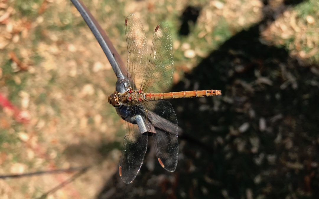 Attracting dragonflies